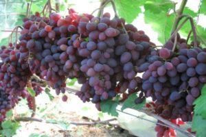 Описание и выращивание винограда сорта Фиолетовый ранний