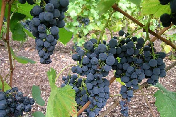 виноград галант