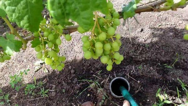полив виноград