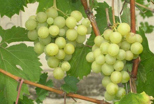 плоды Галбена