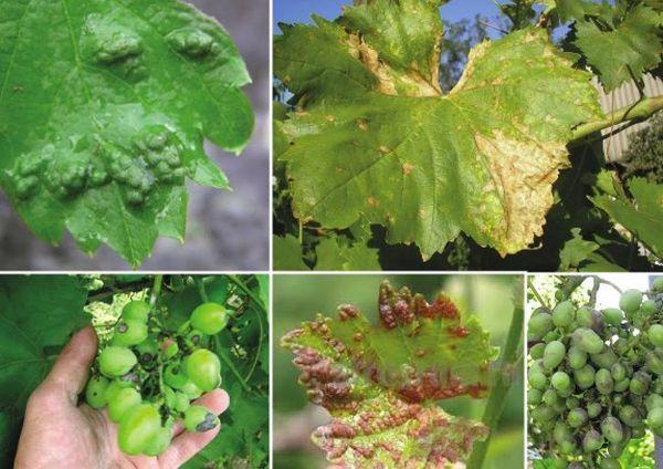 болезни виноград