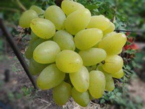 Характеристики и описание винограда сорта Гарольд, посадка и уход
