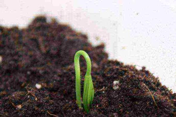 росток в грунте