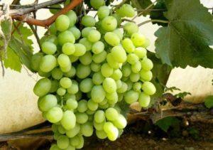 Описание и характеристика винограда сорта Кеша, посадка и уход