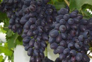 Описание и характеристики сорта винограда Кодрянка, срок созревания и уход