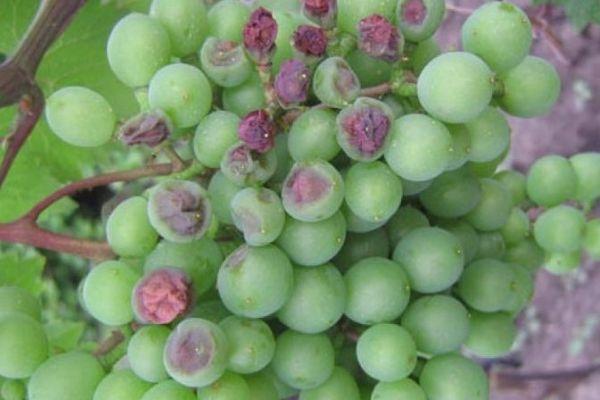 бактериоз у винограда
