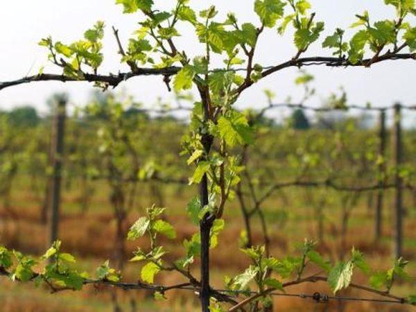 сад виноградный