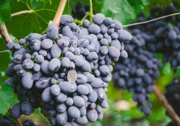 плоды кодрянки