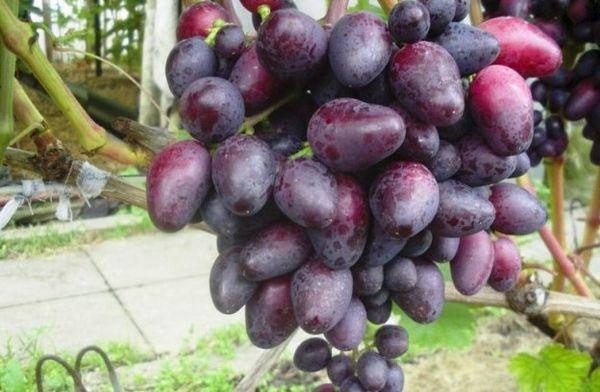 плоды красотки