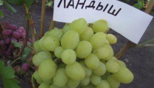 Описание винограда сорта Ландыш, правила посадки и ухода