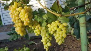 Описание и характеристика винограда сорта Лора, посадка и уход