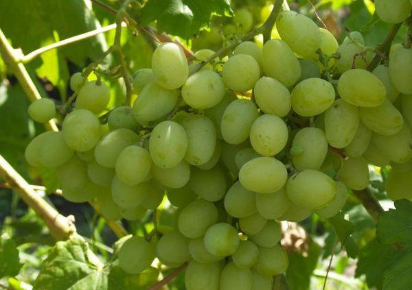 Виноград Любимый
