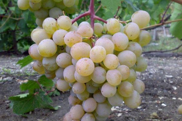 виноград Голодриги