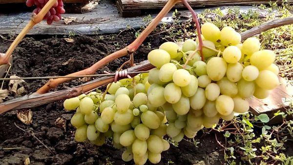 виноград Диевский