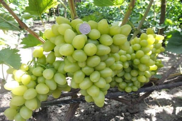 неприхотливый виноград