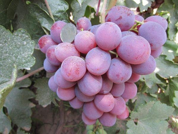 плоды низина