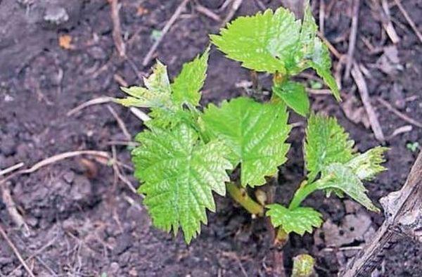 Виноград для посадки