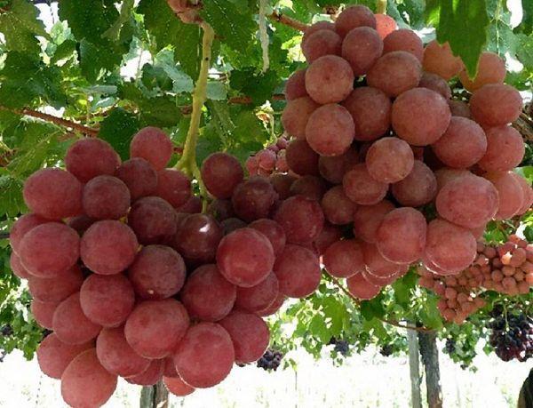 Виноград Гунна