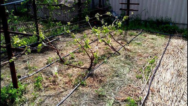 Обустройство винограда