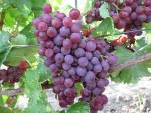 Описание винограда сорта Памяти учителя, особенности посадки и ухода