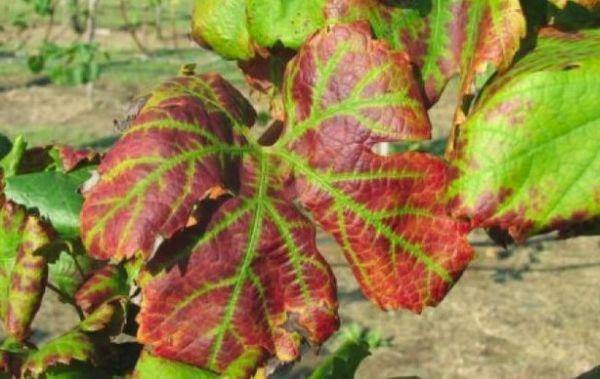 Эска винограда