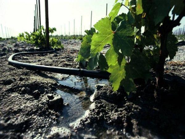 виноград полив
