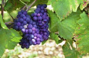 Описание и особенности винограда сорта Пино Нуар, посадка и уход