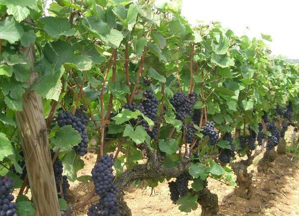 разведение винограда