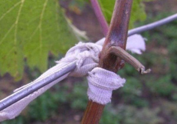 подвязка лозы