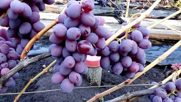 ягоды виноград