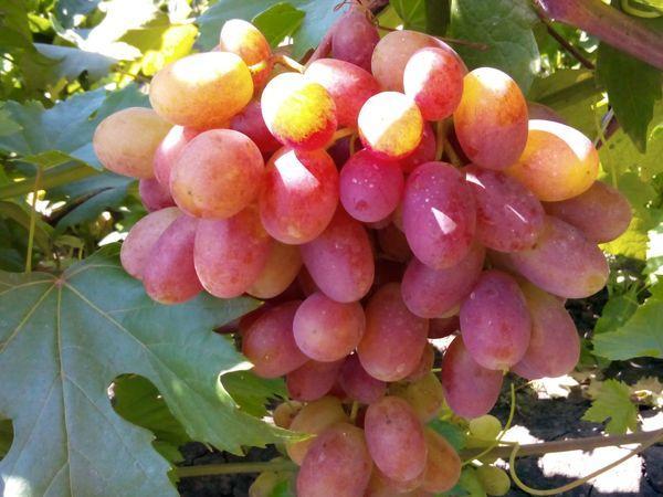 лозы винограда
