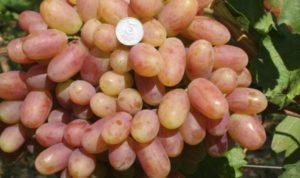 Описание и характеристики винограда сорта Ризамат, посадка и уход