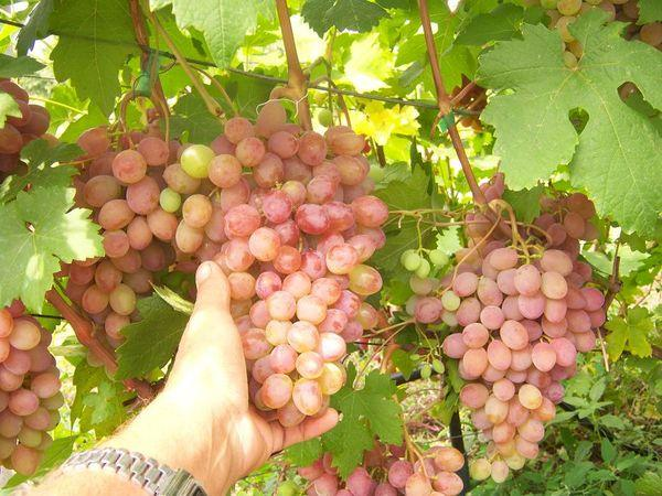 Ягоды винограда Румба
