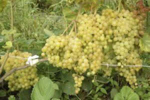 Описание сорта винограда Русбол, правила посадки и ухода