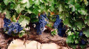Описание и характеристика винограда сорта Санджовезе, посадка и уход