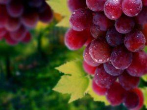 Описание винограда сорта Сенатор, особенности посадки и ухода