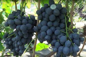 Описание сорта винограда Сфинкс, правила выращивания и ухода