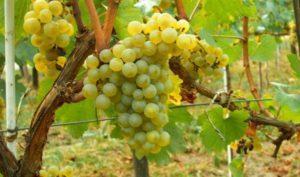 Описание и правила выращивания винограда сорта Солярис