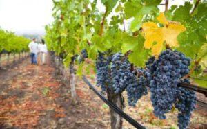 Описание и характеристика винограда сорта Темпранильо, посадка и уход
