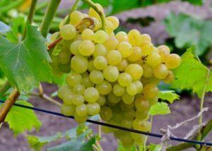 Как вырастить виноград в Подмосковье в открытом грунте без теплицы