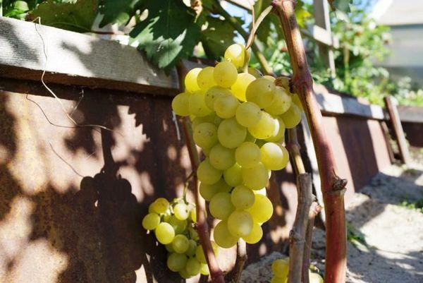 виноград в траншее