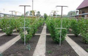 Посадка и уход за виноградом в Удмуртии в открытом грунте