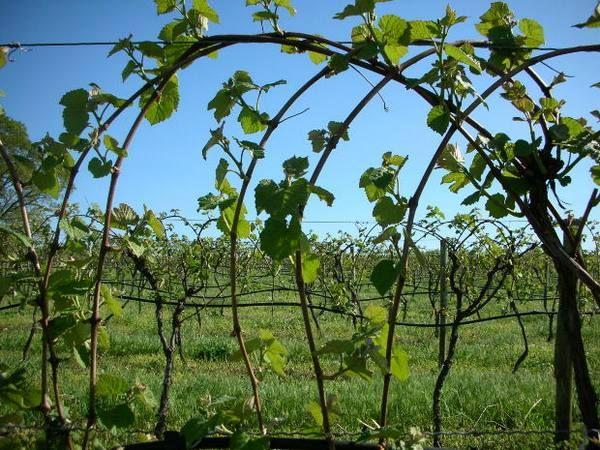 растущий виноград