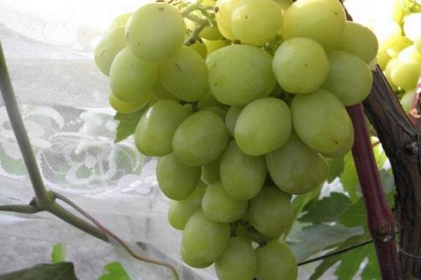 огромная гроздь