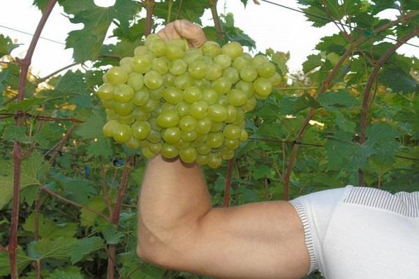 качок с виноградом