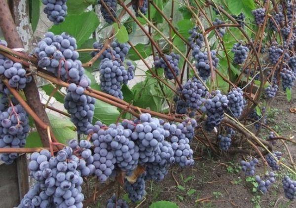 виноград в огороде