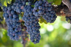 Характеристика и описание винограда сорта Зилга, агротехника выращивания