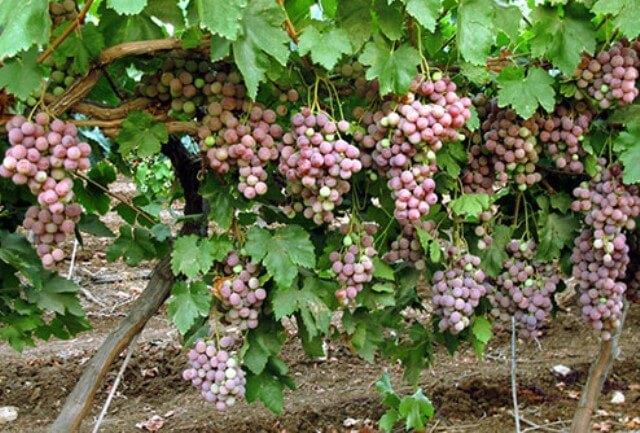 спелые грозди
