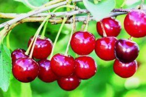 Описание и выращивание канадского сорта вишни Драгоценный Кармин