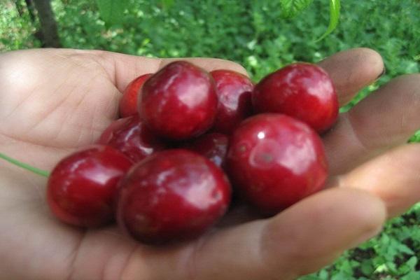 ягоды дерева